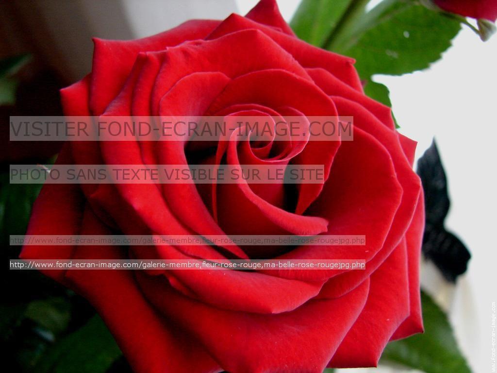 fleur rose rouge ma belle rose rouge | tatouage | pinterest