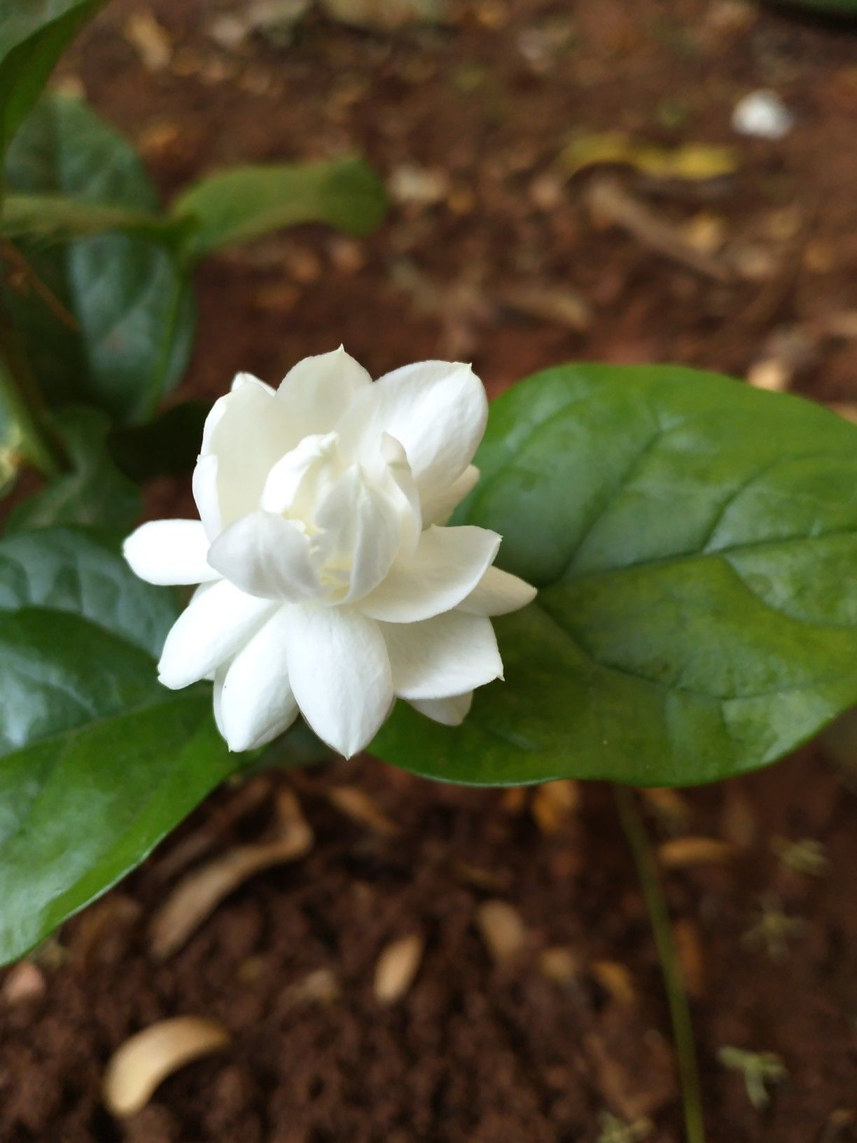 Mogra Flower With Images Flowers Plants Fragrant