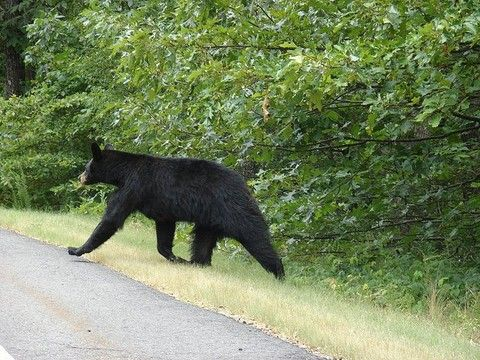 Close Encounters With Arkansas Wildlife (black Bear At Mount Magazine State  Park Near Paris,