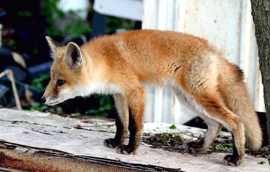 Fox in the yard | Fox, Animals, Yard