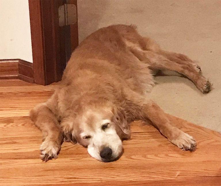Golden Retriever Rescue Resource Toledo Dog Adoptions Page 7