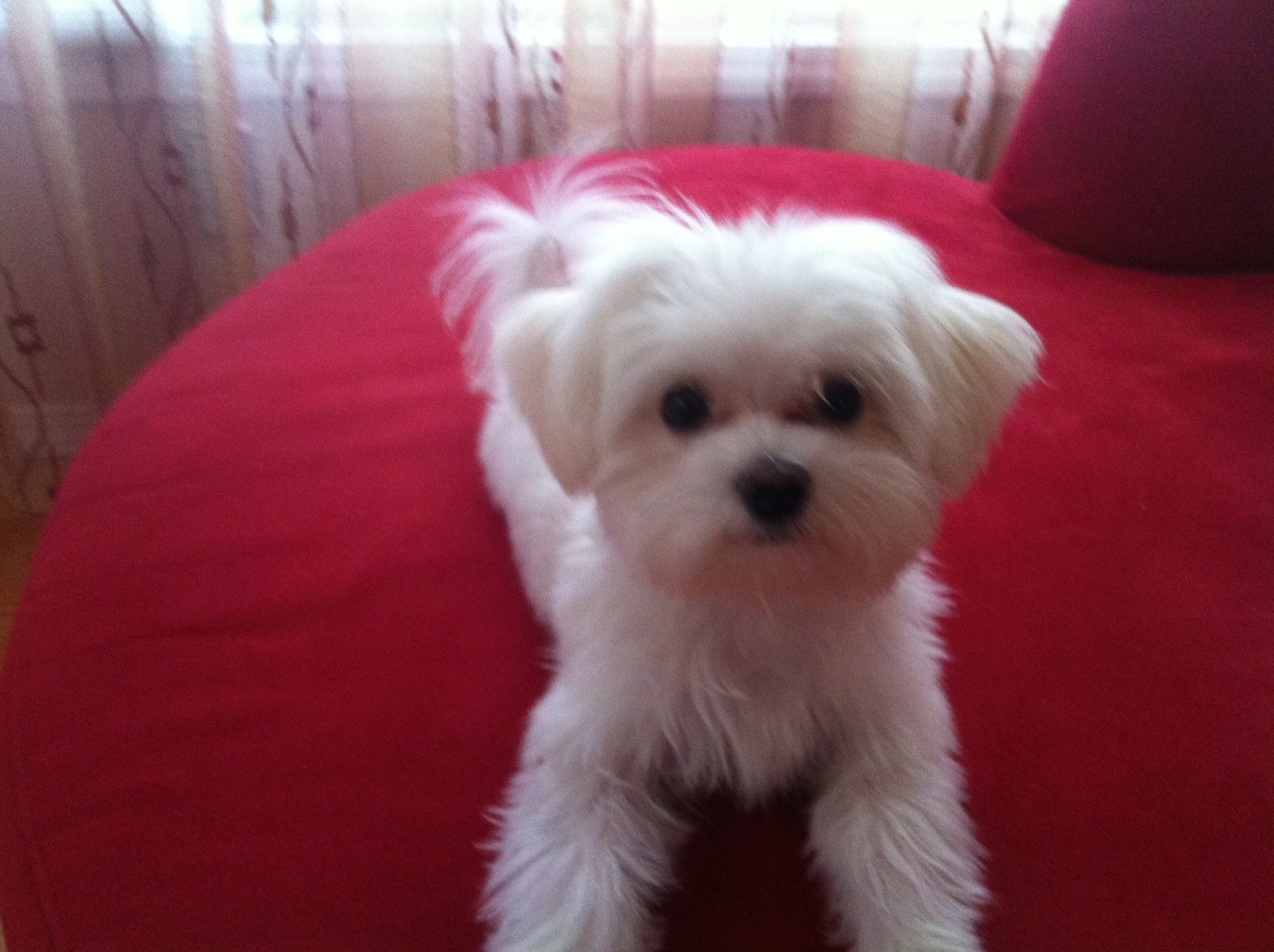Maltese My Little Boy Maltese Dogs Maltese Puppy Cute Dogs