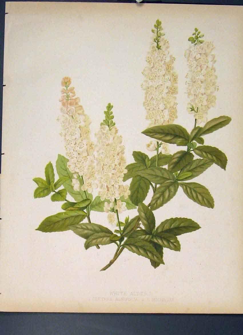 [White Alders Clethra Alnifolia Michauxi Flower Print