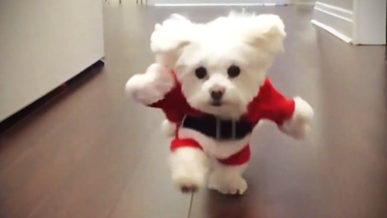 Funniest Dogs In Costumes 2017 Funny Pets Youtube Dog
