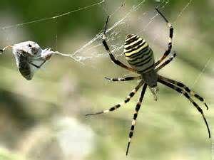 araignée - Ecosia