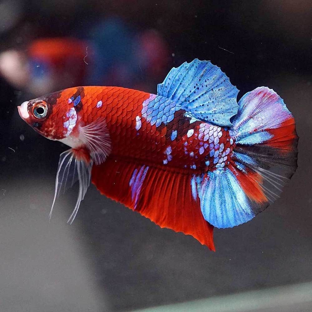 Betta Fish Betta Fish Ideas Bettafish Fishbetta Live Betta Fish Fancy Super Red Galaxy Koi Halfmoon Plakat Hmpk Male 78 Betta Fish Tank Betta Betta Fish