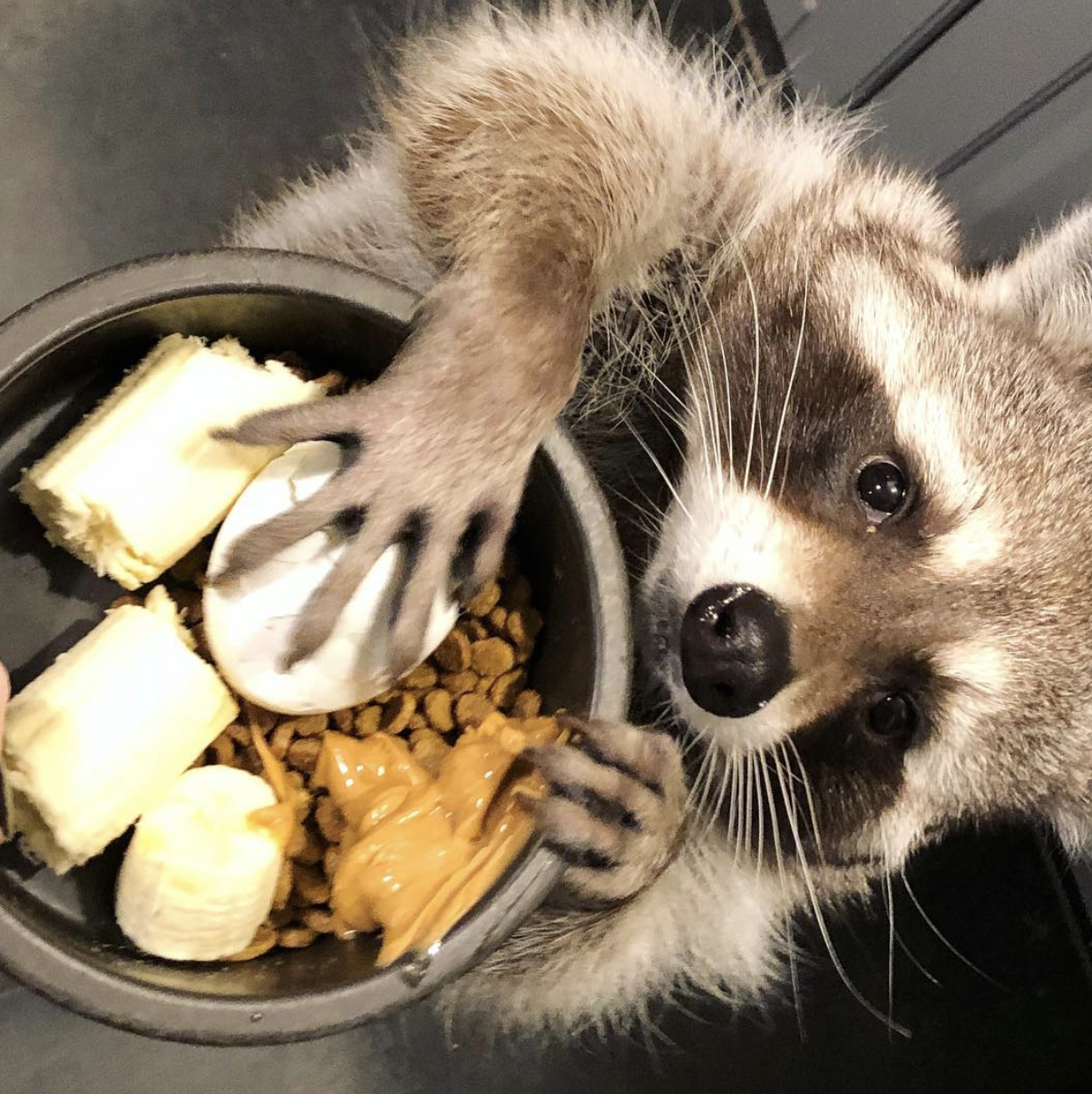 Just a Raccoon with hands… | Raccoons are cute…until you