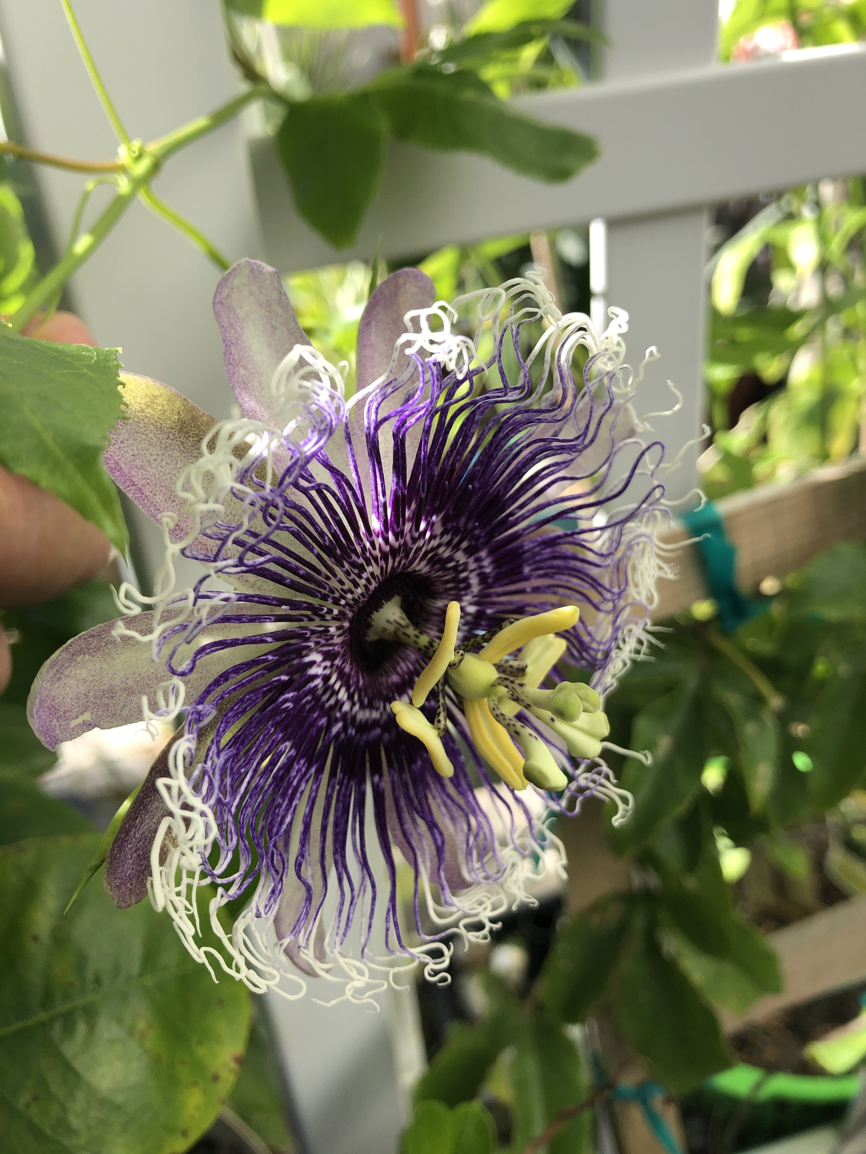 Beautiful passiflora passion flower vines bed on trellises