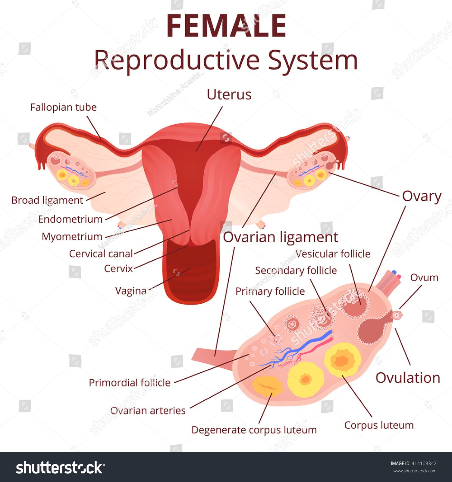 Image Of Female Reproductive System Diagram Koibana Info Reproductive System Female Reproductive System Female Reproductive System Anatomy