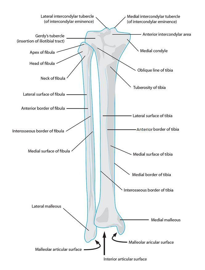 Atemberaubend Anatomie Und Physiologie Blut Notizen Galerie ...