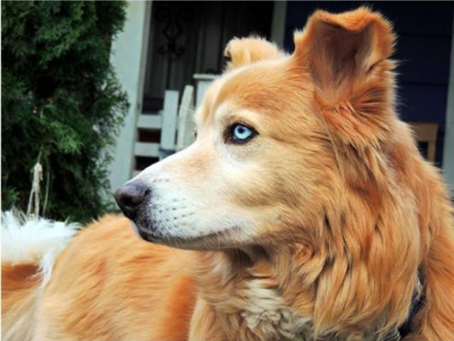 10 Adorable Dog Breed Mashups You Never Knew Existed Siberian