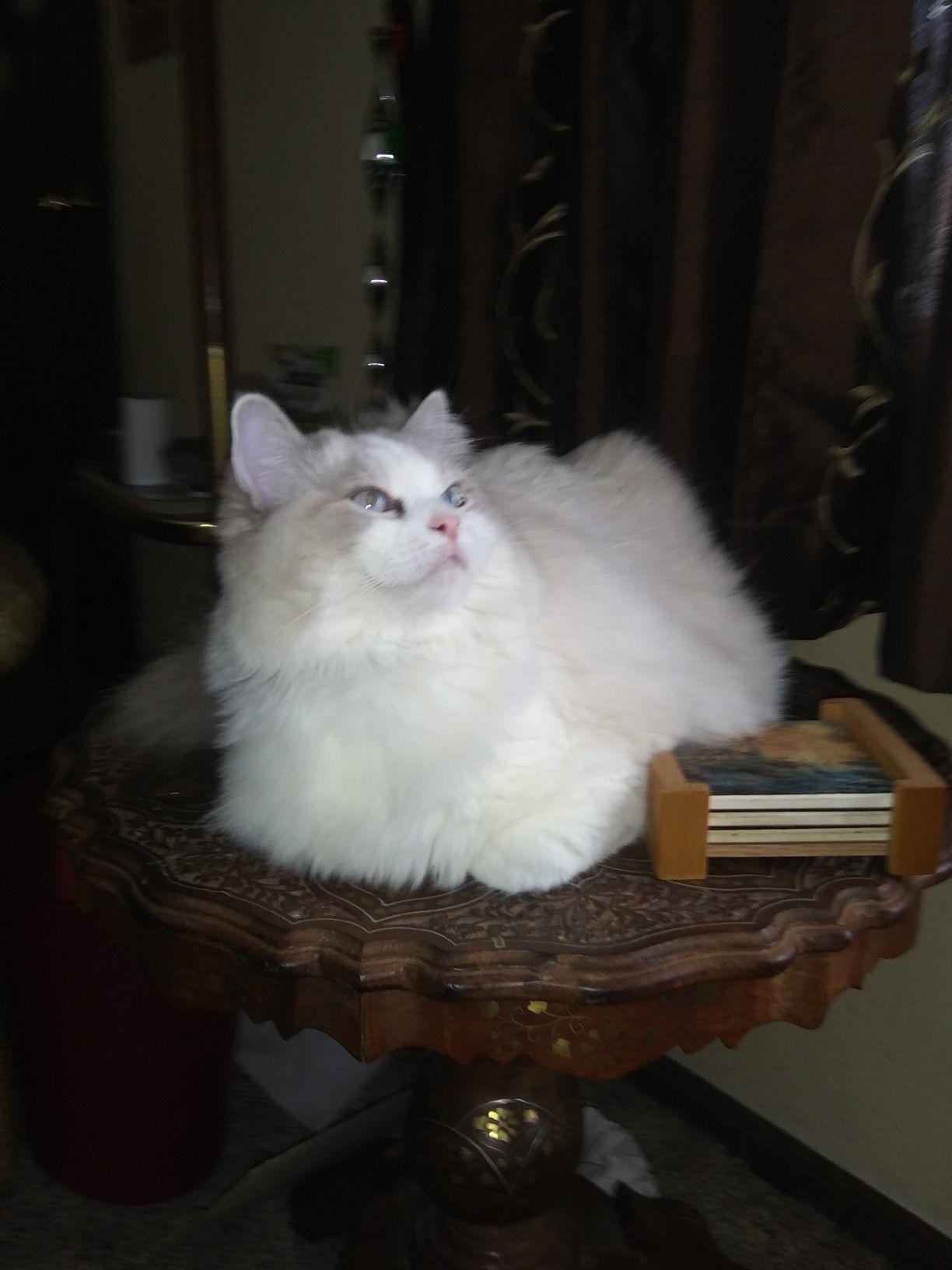 Missey Muffet Blue Lynx Ragdoll Ragdoll, Cats, Animals