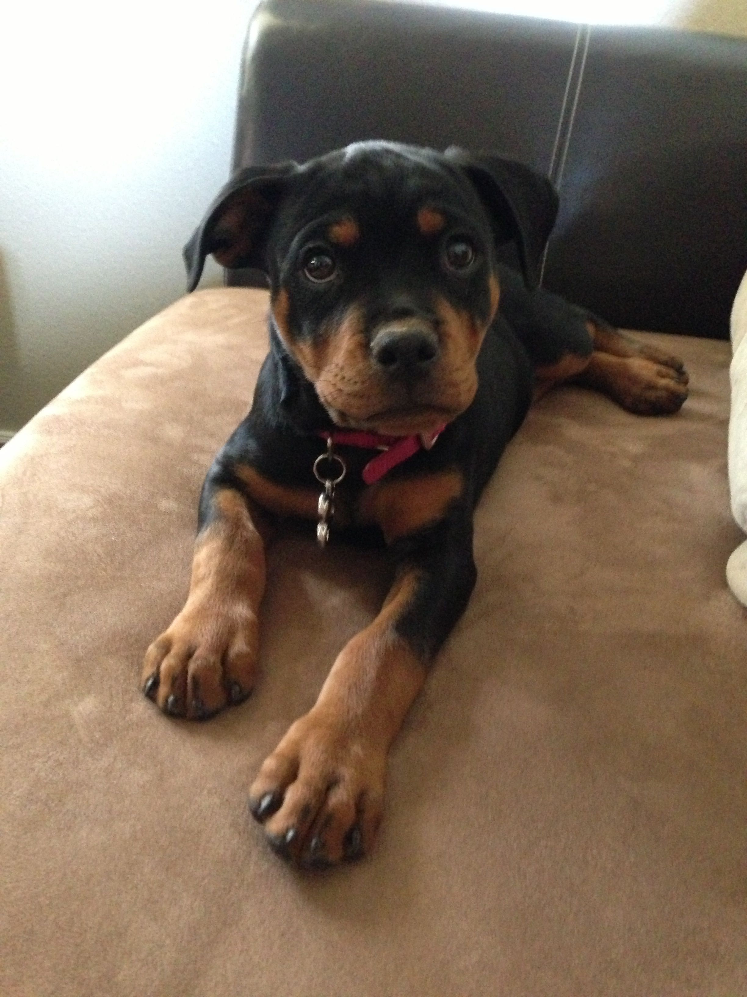 Rottweiler loving confident and loyal paws pinterest