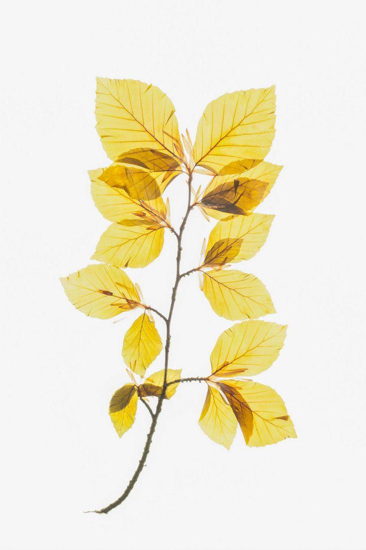 Golden Yellow Botanical Wall Art, Translucent Leaves Print, Yellow ...