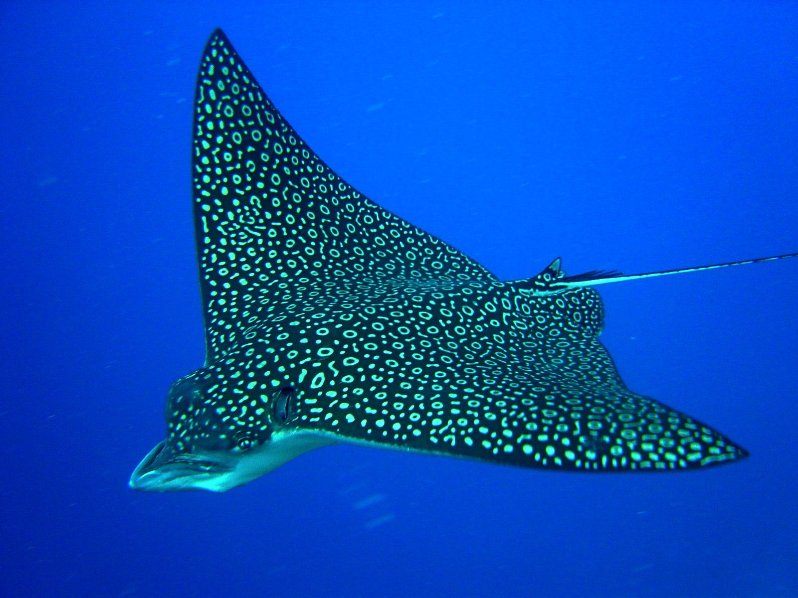 Spotted eagle ray coloring pages - Eagle Ray Spotted Eagle Ray Aetobatus Narinari Ocean Atlantic Pacific Chordata