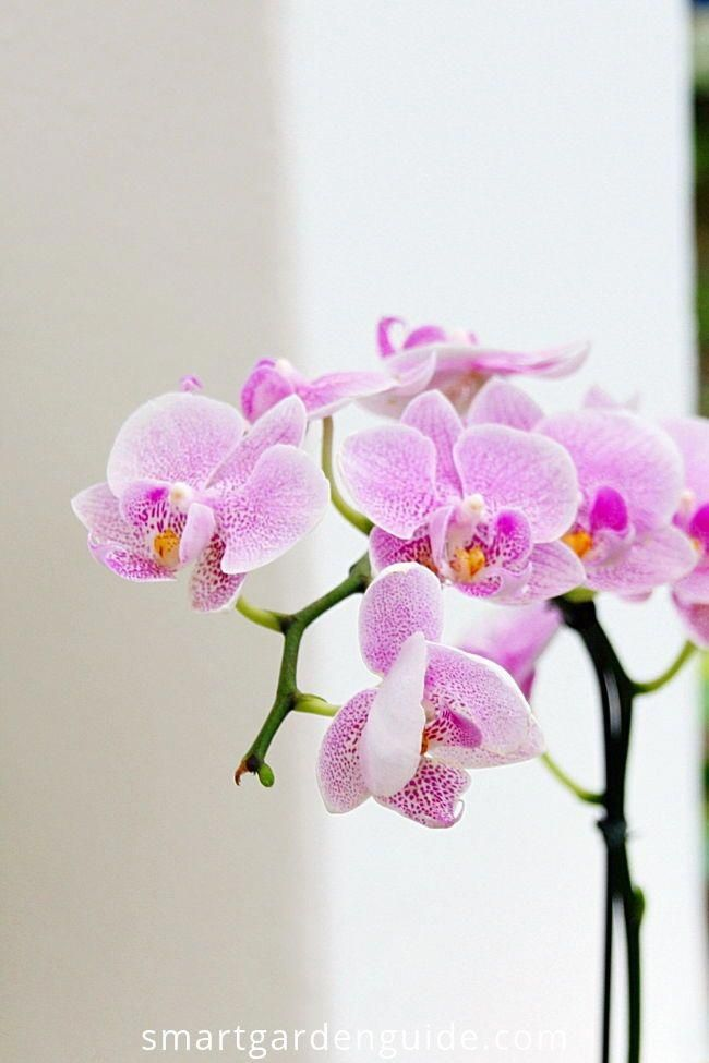 Orchids For Sale Tesco Orchids Orchid Care Phalaenopsis Orchid Care Phalaenopsis Orchid