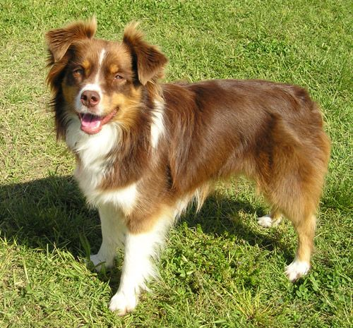 Miniature Australian Shepherd Wikipedia The Free Encyclopedia Australische Schaferhunde Aussie Welpen Aussie Hund
