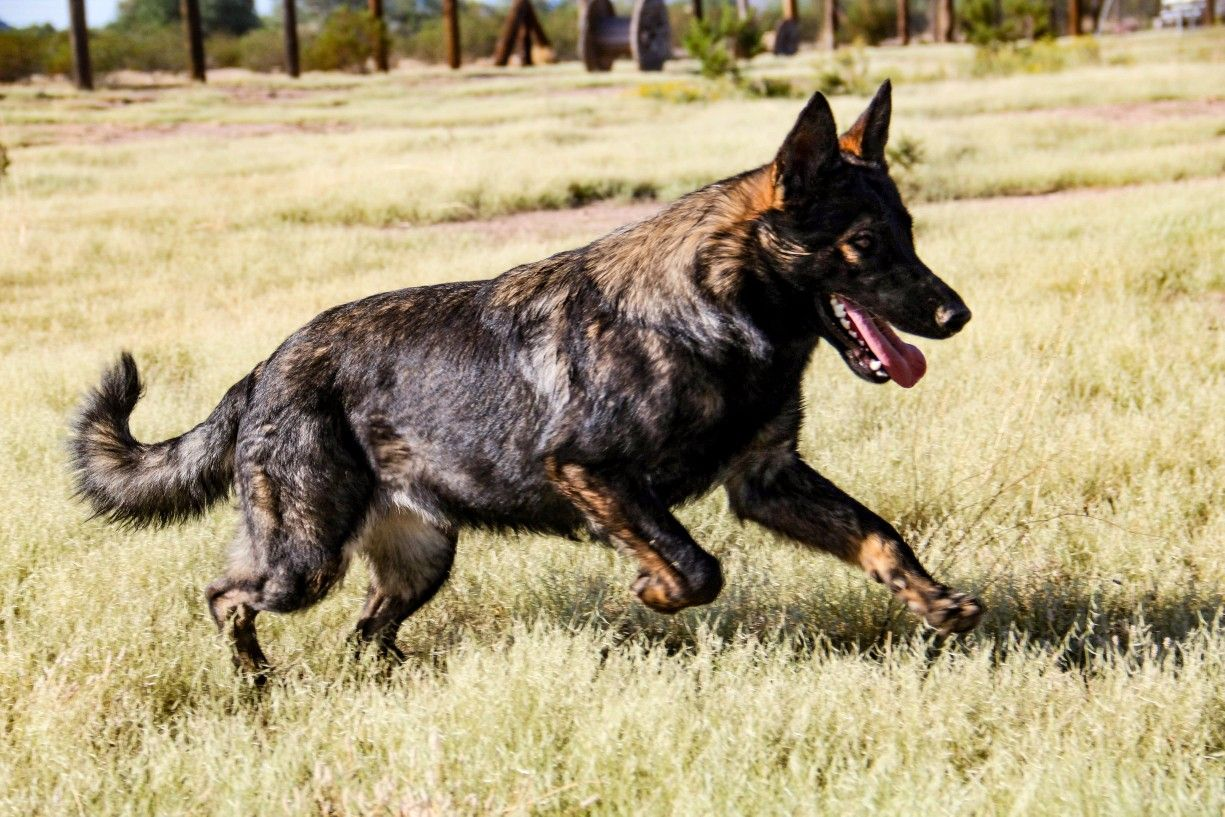 germanshepherd gsd protectiondogs