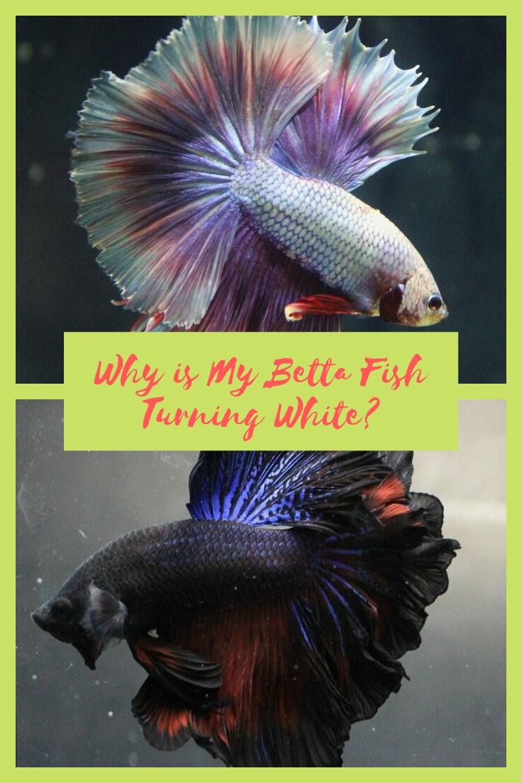 34++ Why is my betta fish turning white info