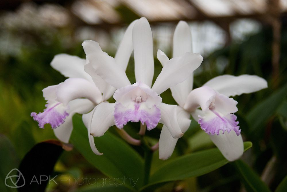 White Purple Cattleya Orchid Apk Photography Orchids Cattleya Cattleya Orchid
