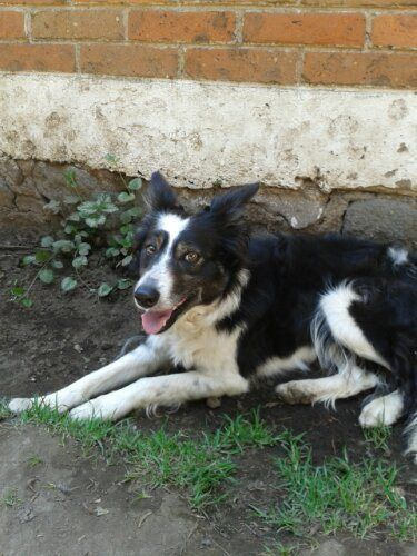 Encontré Border Collie