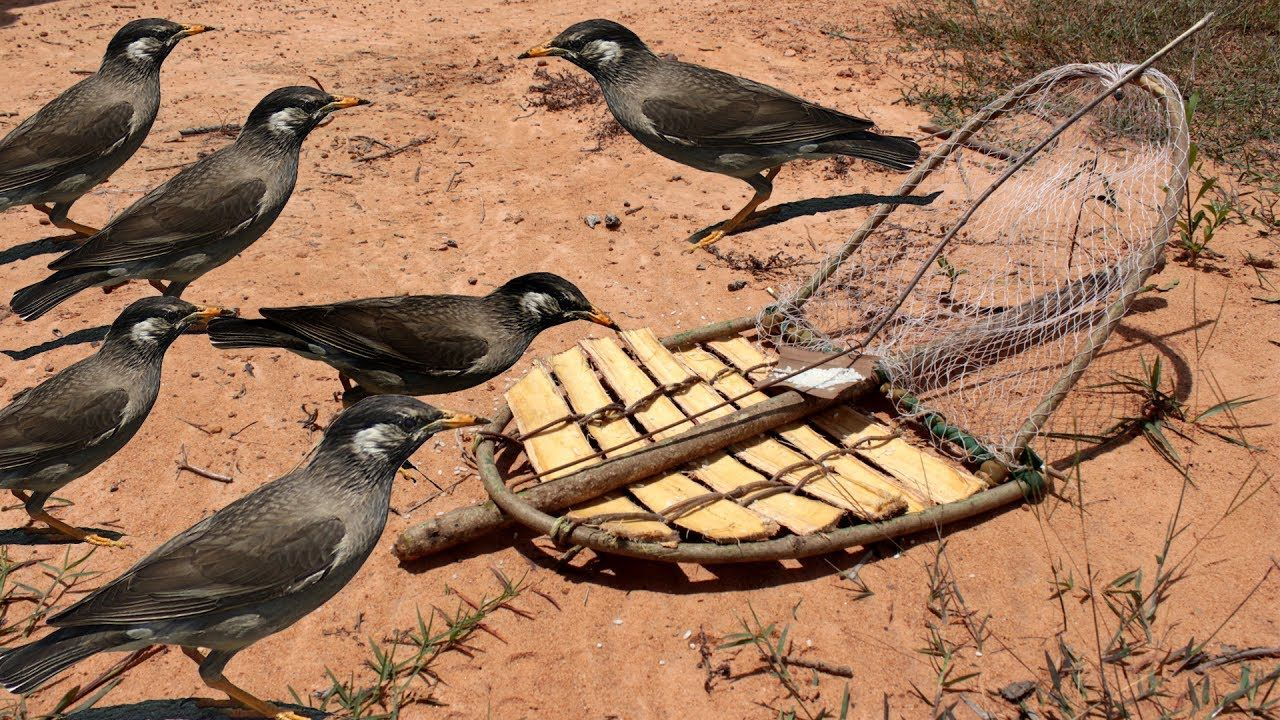 Awesome quick bird trap using slab trap how to make the