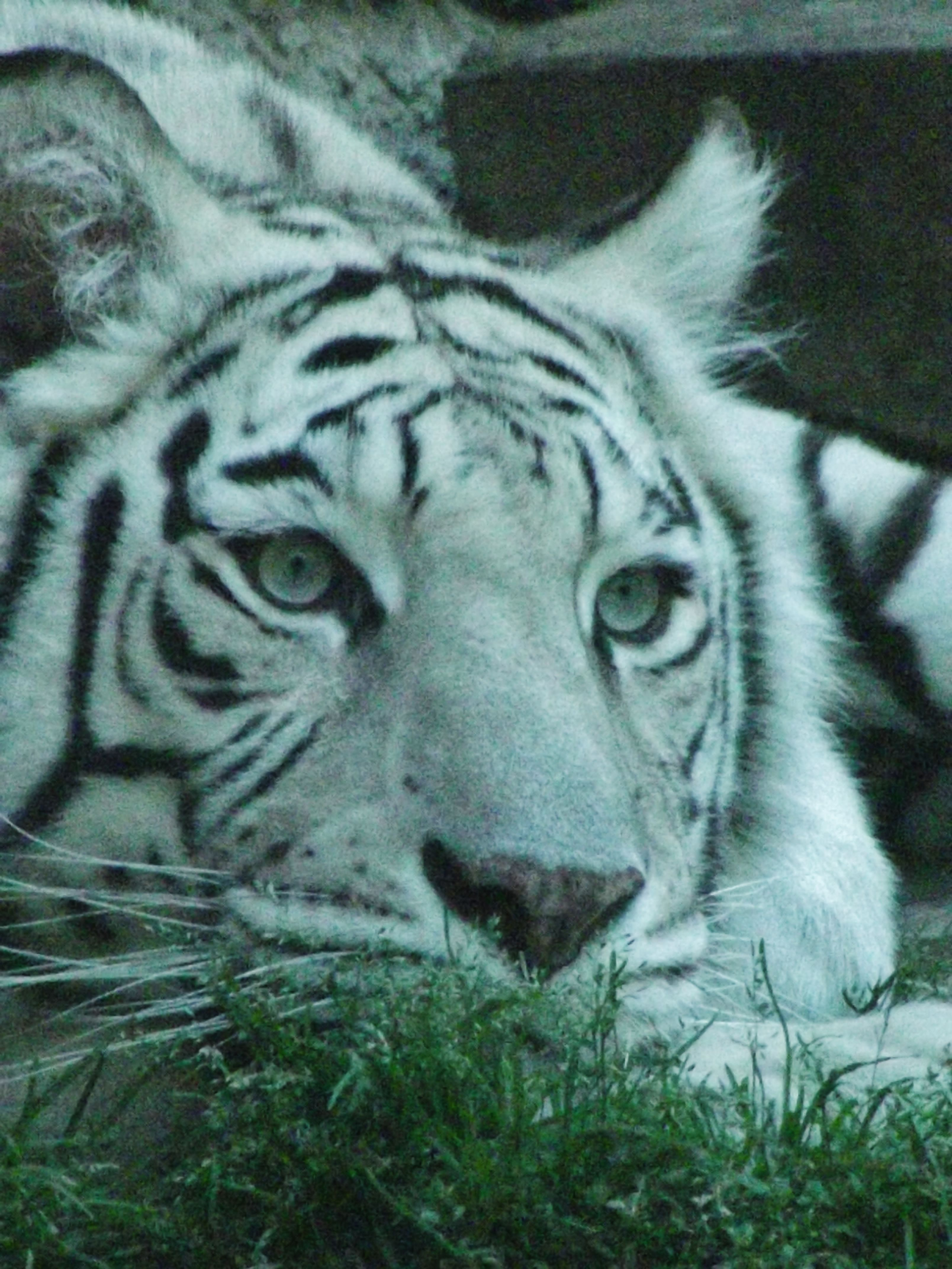 white siberian tiger - photo #28