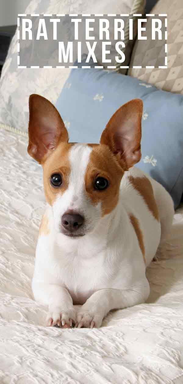 Terrier mix chihuahua terrier chihuahua , terrier mix