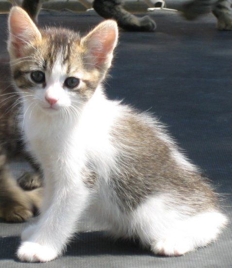 Polydactyl Manx Poly Manx Kittens For Sale Summer 2008 Kittens Manx Kittens For Sale Cats Kittens