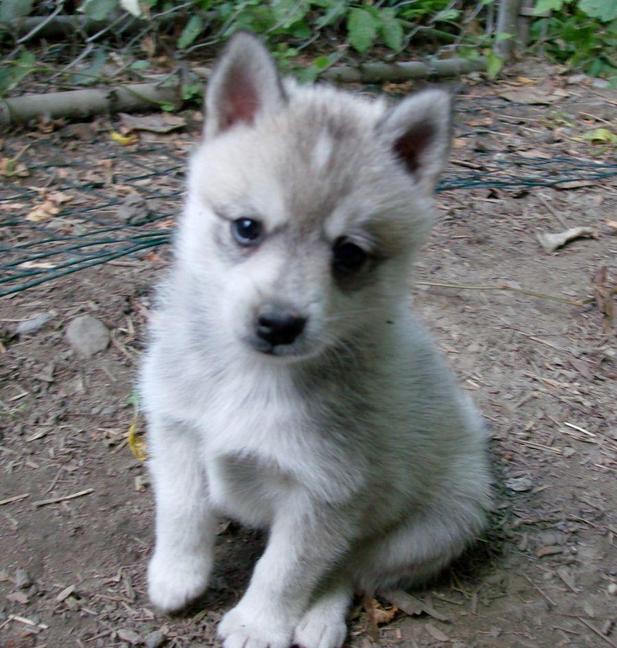 White Alaskan Klee Kai Puppy Miniature Husky Alaskan Klee Kai