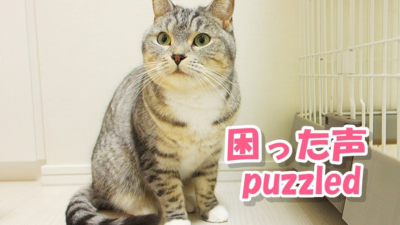 puzzled cat with cute meowing 猫の困った鳴き声が かわいい 猫