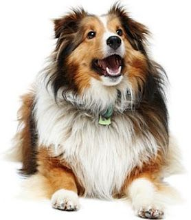 My First Dog Was A Collie When We Had To Find Him Another Home It
