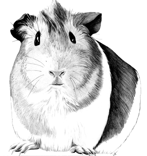 how to draw a simple guinea pig