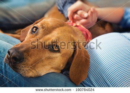 Lying Dog Rhodesian Ridgeback With His Head On Legs Pregnant