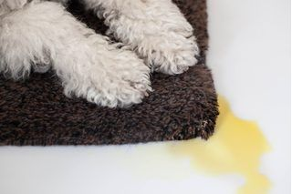 How To Remove Old Urine Stains From A Carpet Pets
