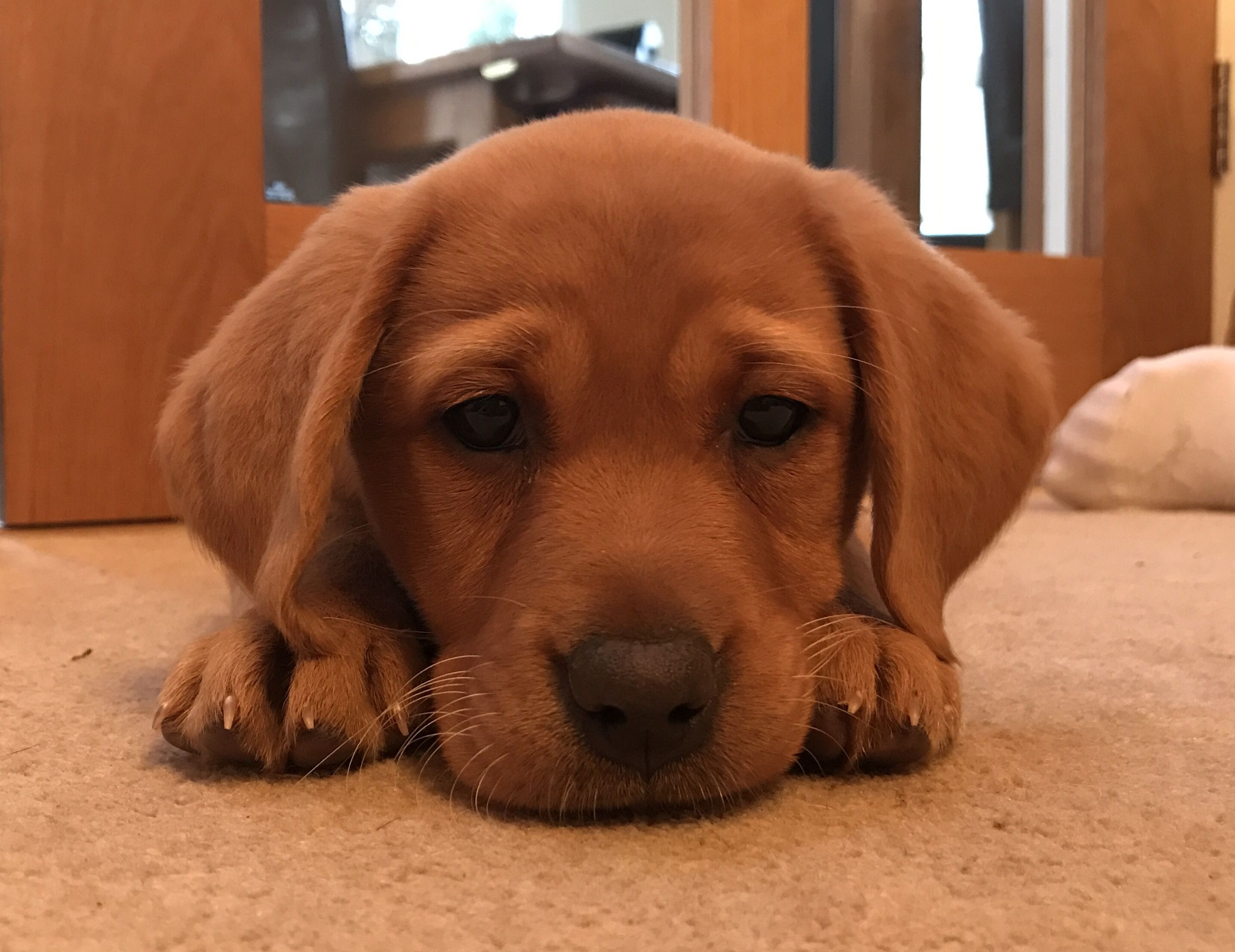 Olivia The Fox Red Labrador Puppy Love