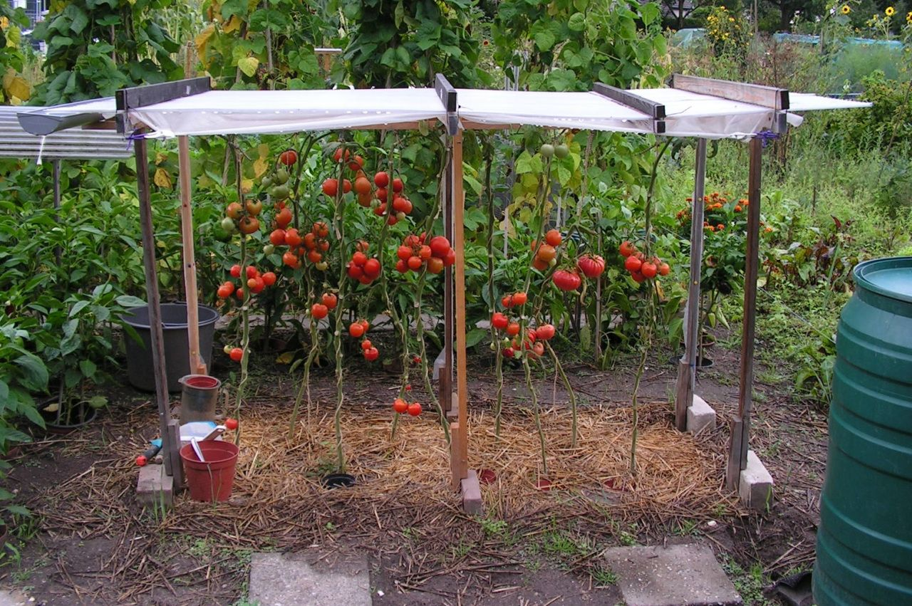 7 Roof Over Sweet Peppers Or Tomatoes In 2020 Tomaten 640 x 480