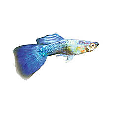 Pet Fish For Sale Tropical And Freshwater Fish Petsmart In 2020 Pet Fish Guppy Fish Fish For Sale