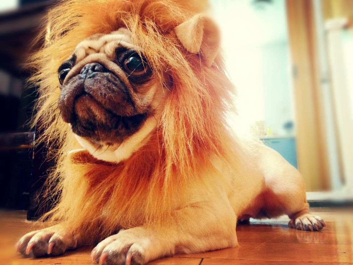 Lion King Animals Pugs Dogs