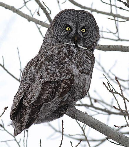 Great Gray Owl | Great grey owl, Owl, Owl calls