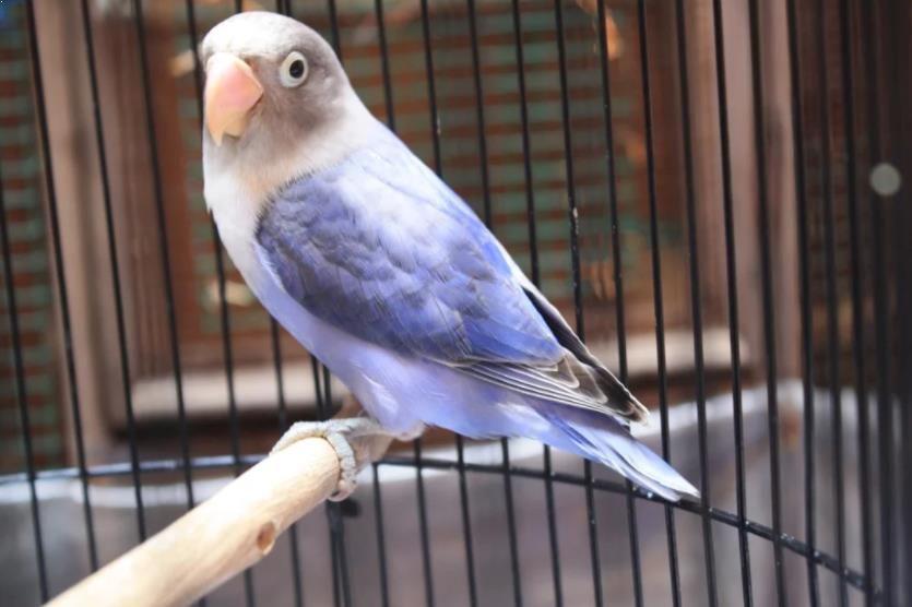 Burung Lovebird Violet Burung