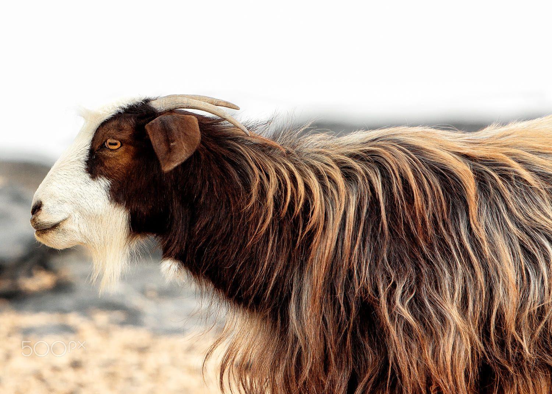 Omani Goat | Fauna | Goats, Photography