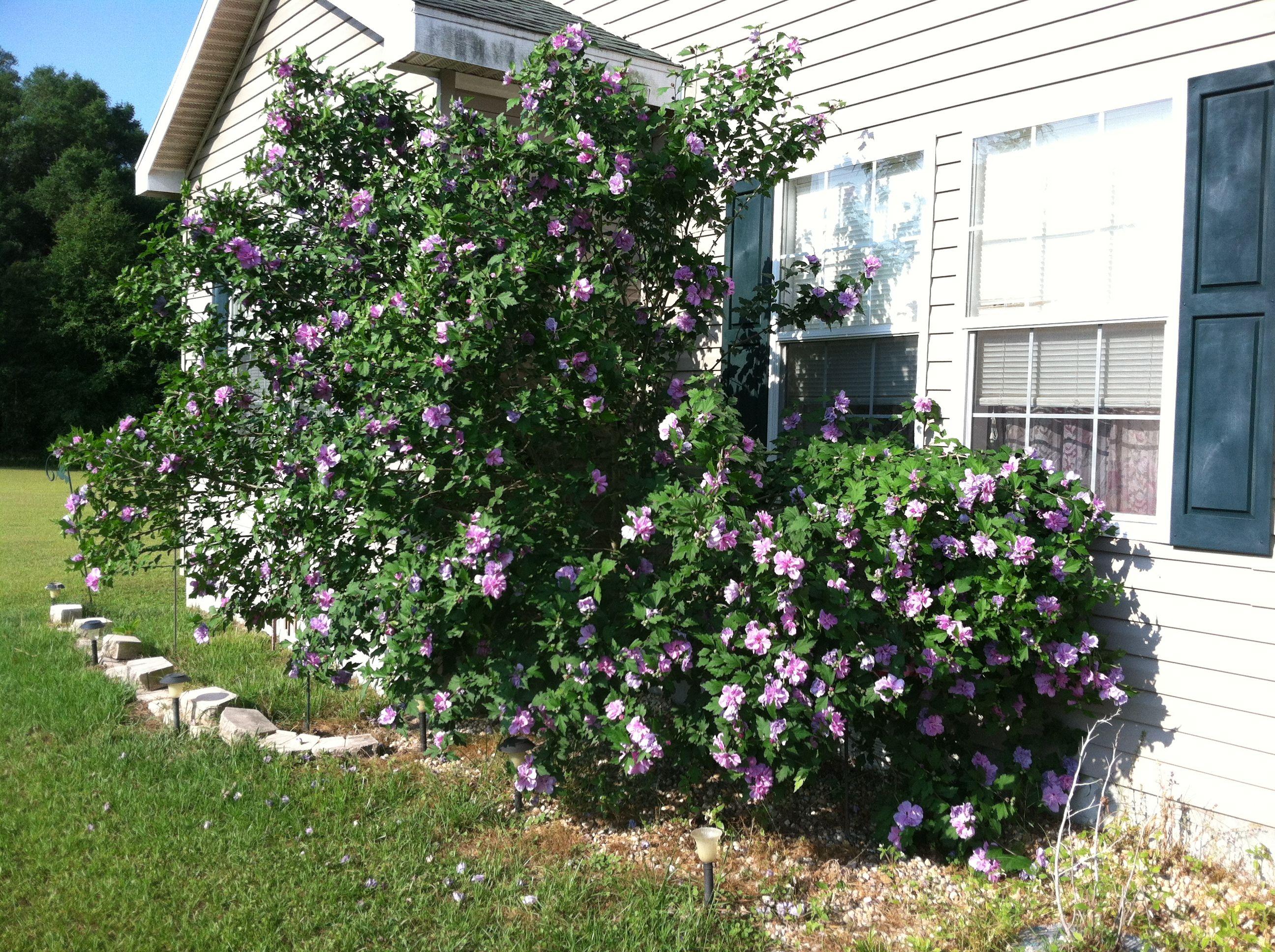 Rose of Sharon Bush tree Outdoor House Ideas Pinterest