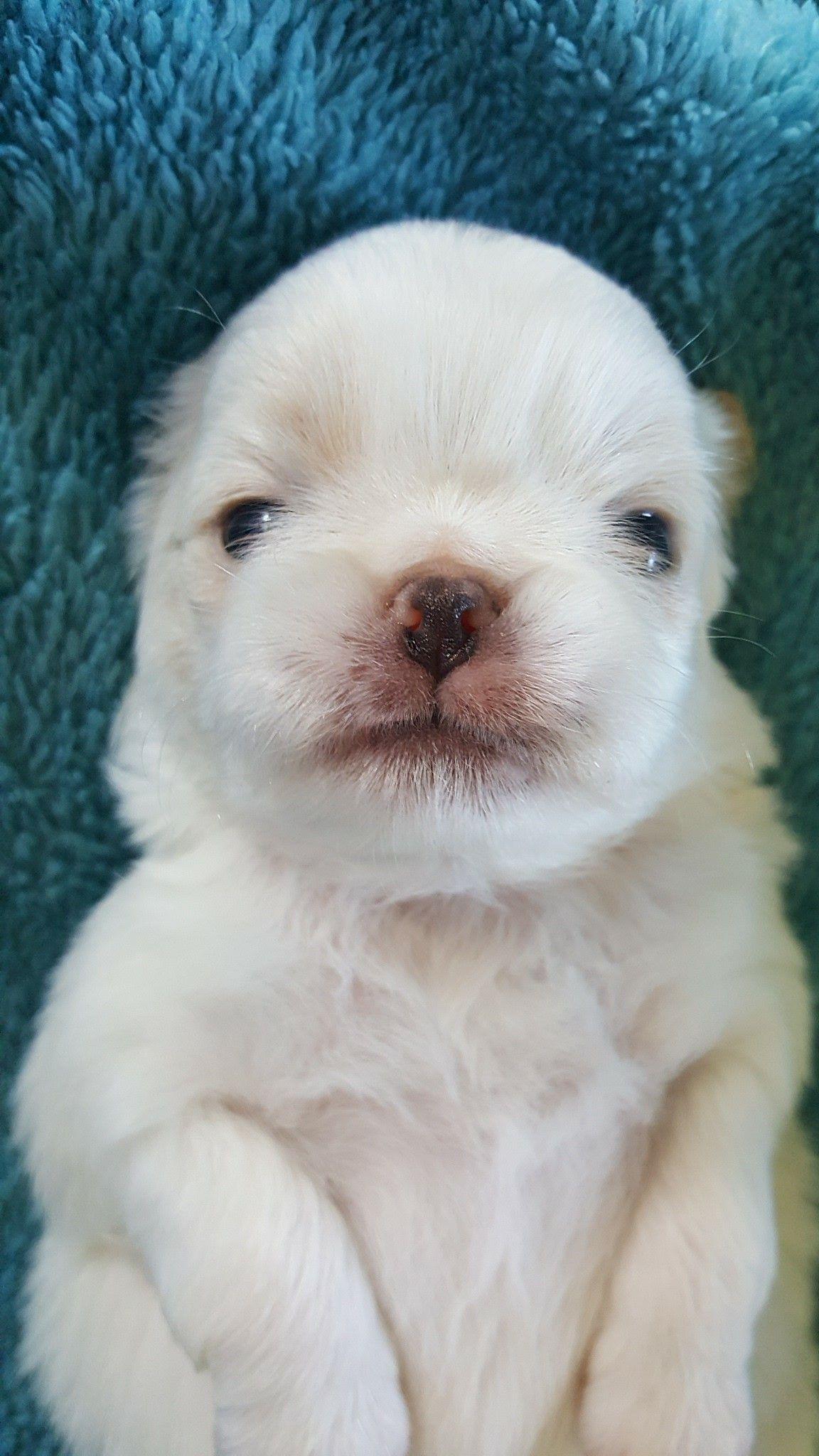 Lemon White Japanese Chin Puppy Walker S Chins Japanese Chin