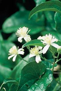 Clematis Is For People Whose Minds Drift Away From The Present Into Fantasies Of The Future Or Into Altern Clematis Flower Essences Remedies Flower Essences
