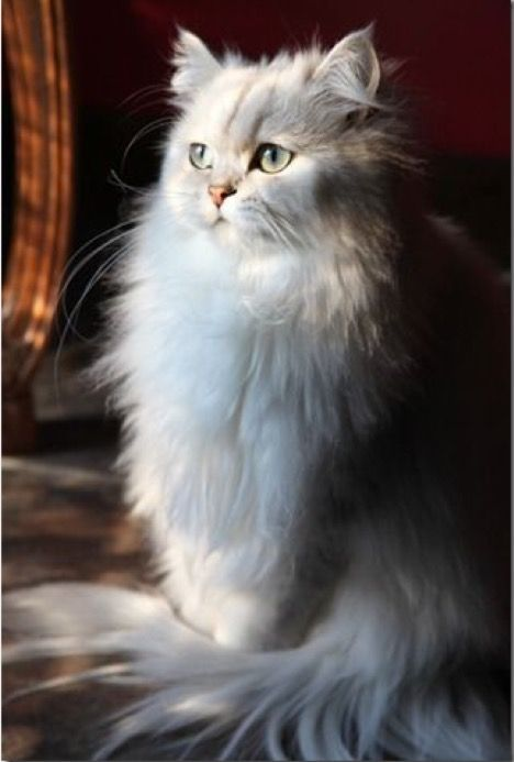 What A Fluffy Girly Girl Of A Cat Catgirl Cute Cats Cats