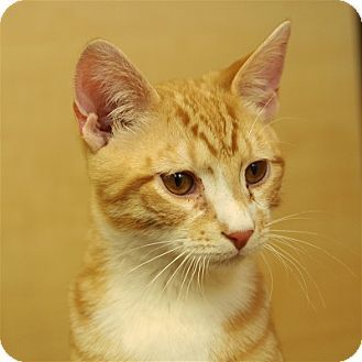 Orange Julius Needs A New Family Visit Joyfulpets Com To Find Out More About Him Orange Julius Is Being Cared For By The Pet Adoption Pet Parent Orange Cats