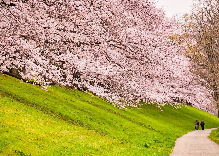 10 Best Kyoto Cherry Blossom Spots For 2021 When To See Sakura Festival Dates Live Japan Travel Guide In 2021 Cherry Blossom Japan Japan Travel Guide Japan Travel