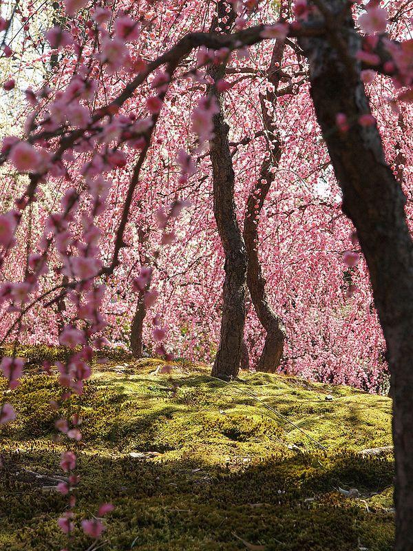 Curtain Of Flowers Blossom Blossom Trees Tree