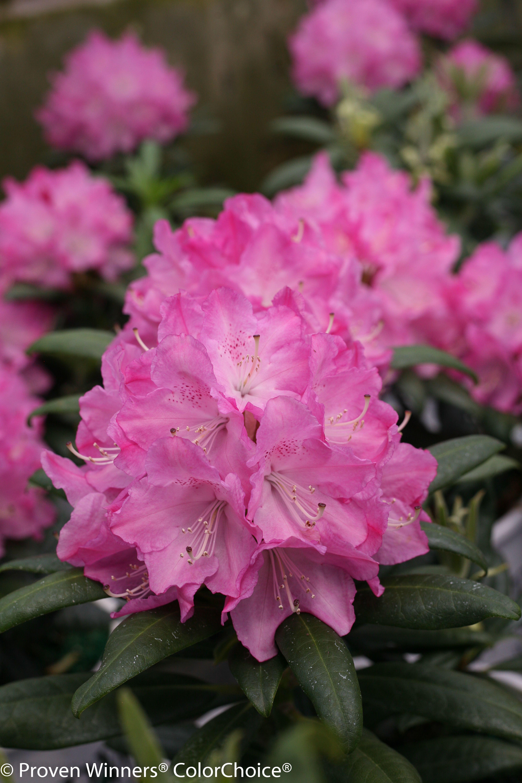 Dandy Man Pink Rhododendron X Flowers Perennials Flower